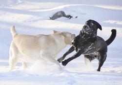 Les 3 qualités principales du Labrador sont :