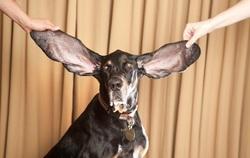 De quelle taille sont les plus grandes oreilles de chien ?