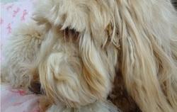 Ranmaru a les plus longs cils canins du monde, combien mesurent-ils ?