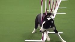 Avec un sans-faute, le chien qui détient le record d'agility effectue le parcours en :
