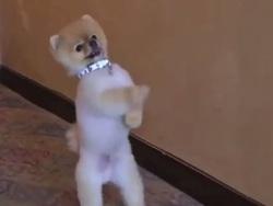 Le chien sur deux pattes le plus rapide du monde peut effectuer 10 mètres en :
