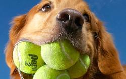 Combien de balles de tennis, le Golden Retriever Augie peut-il tenir dans sa gueule ?
