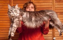 Le chat le plus grand du monde mesure :