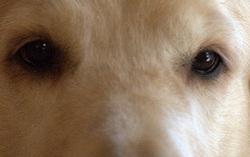 A quel chien appartiennent ces yeux ?