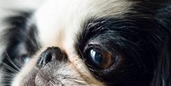 A quelle race de chien appartient ce regard ?