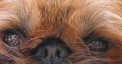 A quel chien ces yeux appartiennent-ils ?