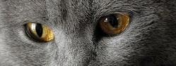A quelle race de chat appartient ce regard ?