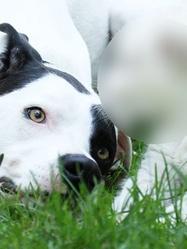 En Allemagne, un chien a adopté un petit animal sauvage. S'agit-il d'un :