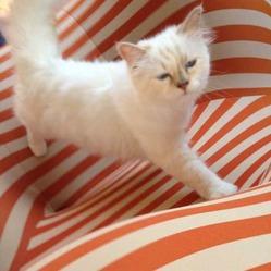 Choupette, c'est le nom d'un chat devenu une véritable star. A qui appartient-il ?