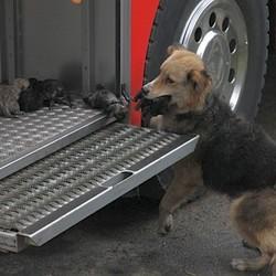 Au Chili, une chienne très courageuse a sauvé ses petits d'un incendie. Qu'a-t-elle fait ?