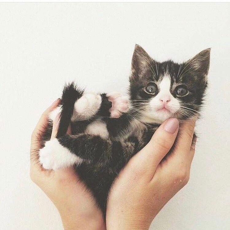 Fabuleux 20 chatons trop mignons qui vont vous donner envie de caresser  BT19
