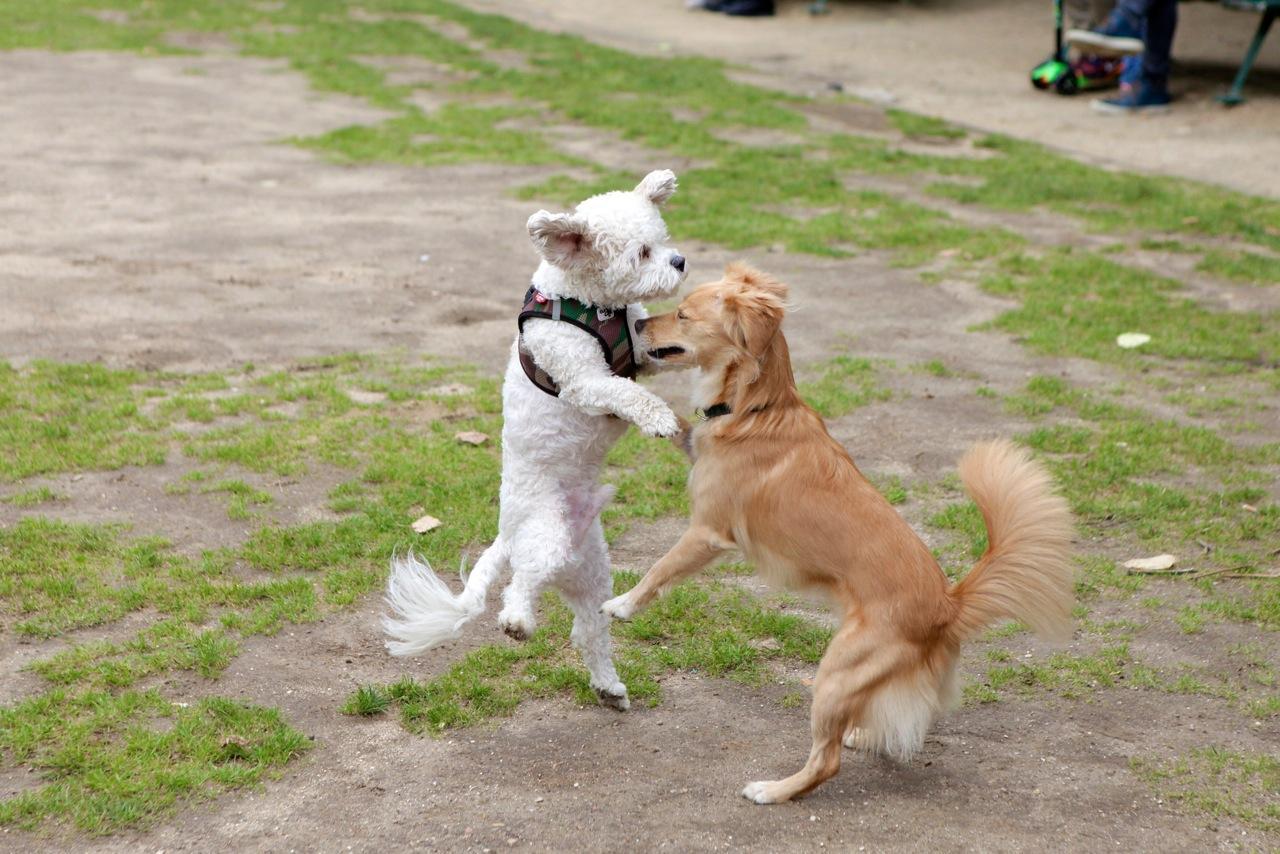 chiens comité oka