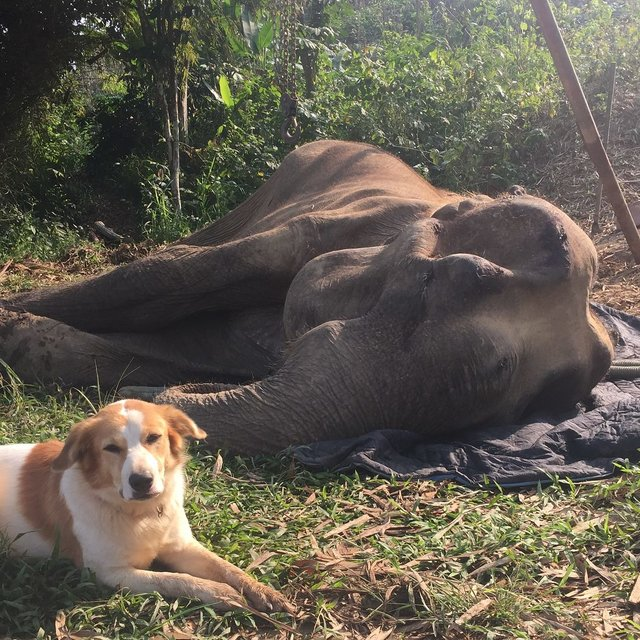 BLES chien éléphant