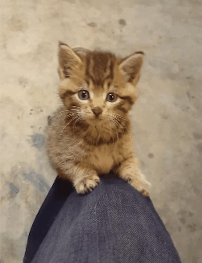 chaton qui monte jambe