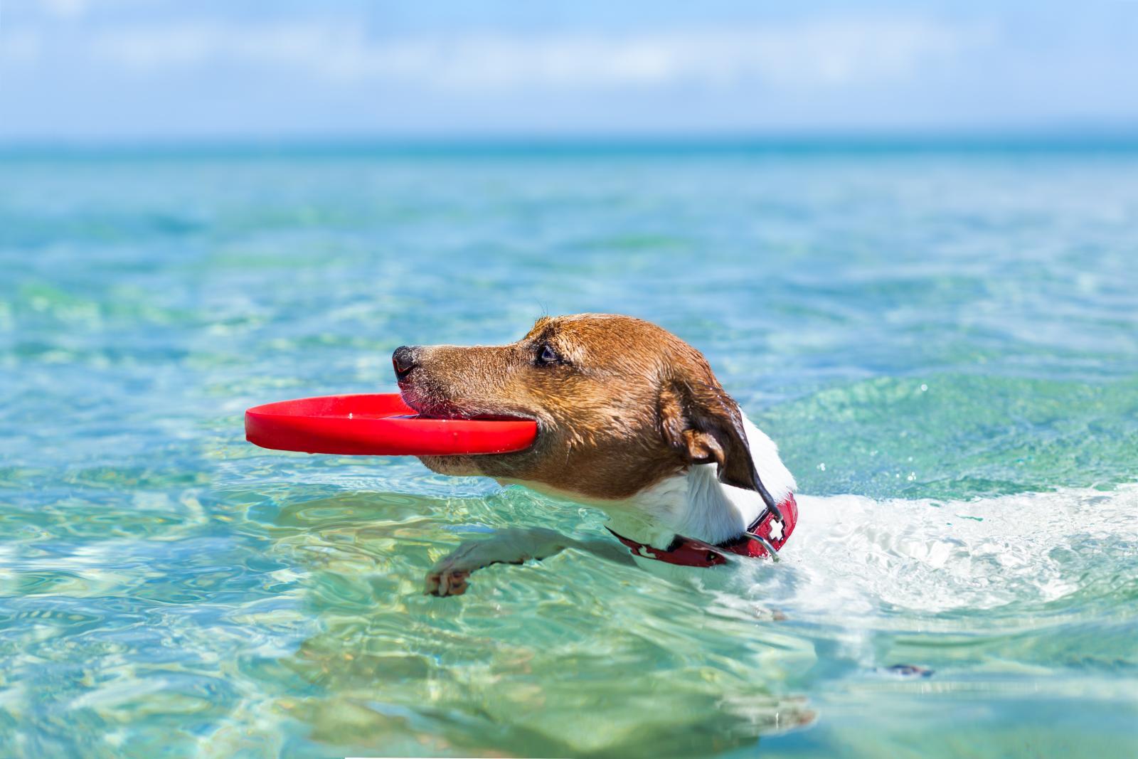 chien joue dans la mer frisbee