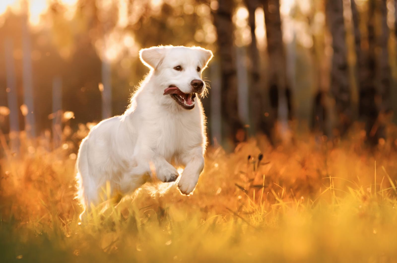 chien promenade coucher soleil