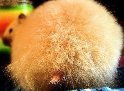 fesses hamster