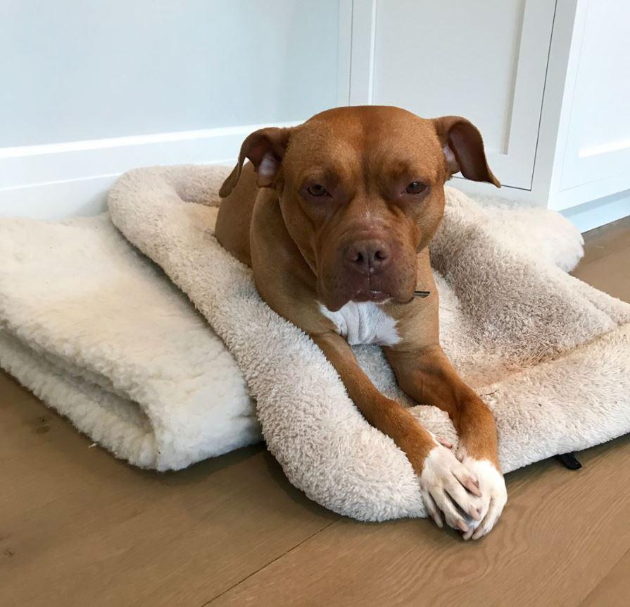 lola pitbull sauvé lits