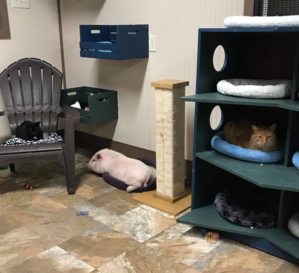porker cochon chat