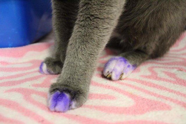 chat pattes violettes