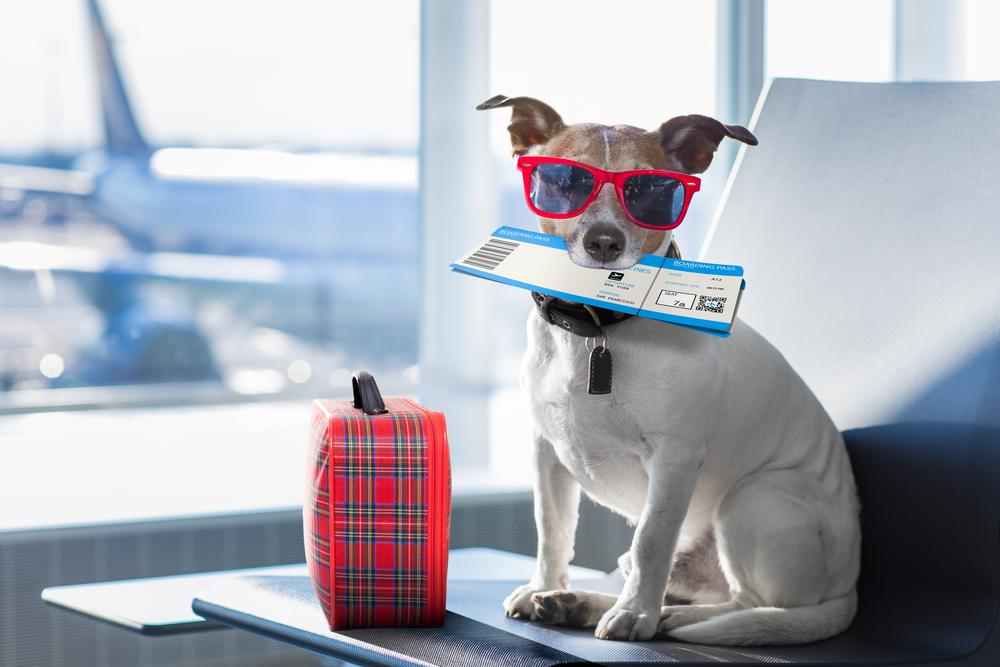 vacances chien été avion