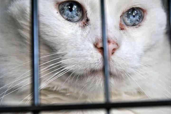 coconut chat blanc aveugle et sourd