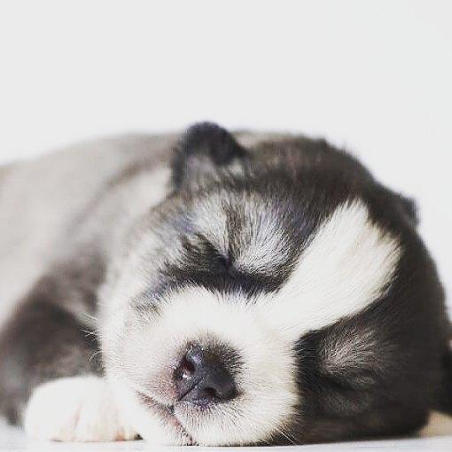 chiot husky qui dort