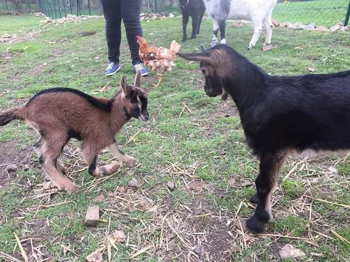chèvre handicapée