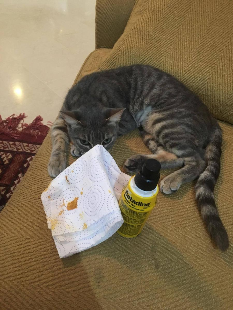 chatte stérilisation