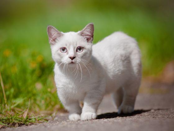 20 Adorables Raisons D Adopter Un Munchkin Le Chat Qui Reste Bebe Toute Sa Vie Web Wamiz