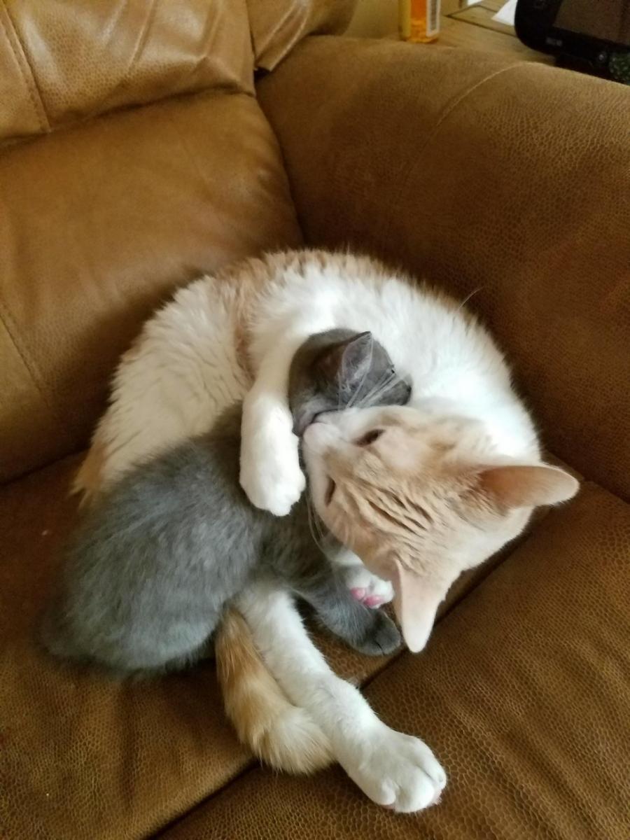 Ils ramènent un chaton abandonné à la maison, la réaction de leur chat est adorable