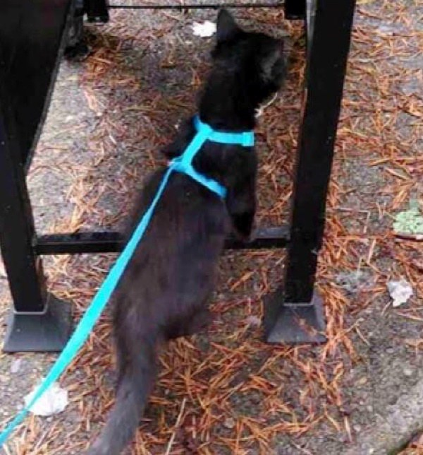 petit chat noir laisse