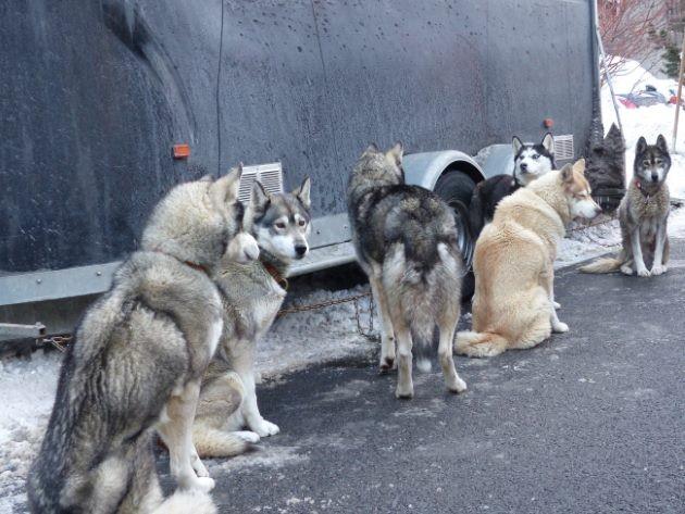 chiens de traineaux grande odyssée