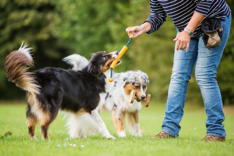 chiens bergers en train de jouer