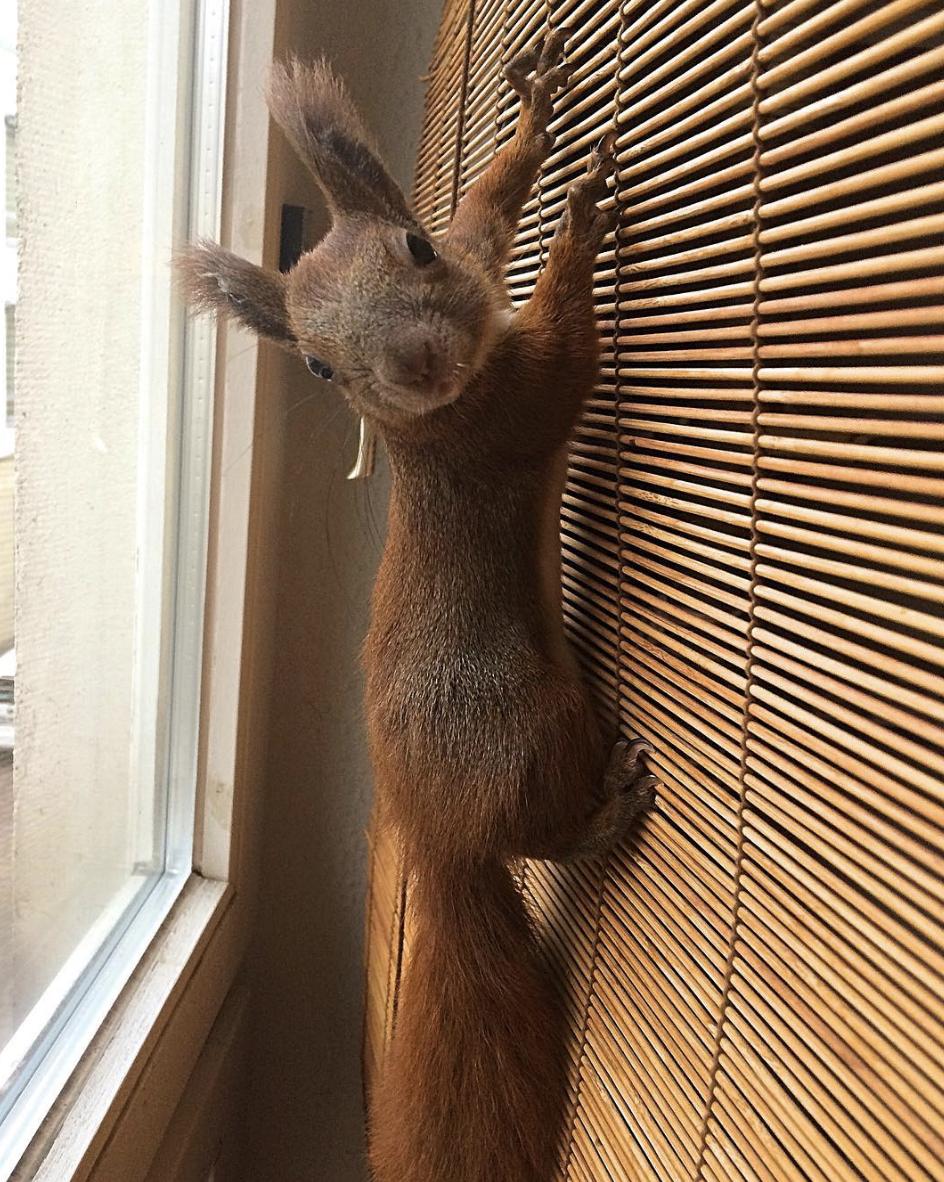 Gin l'écureuil