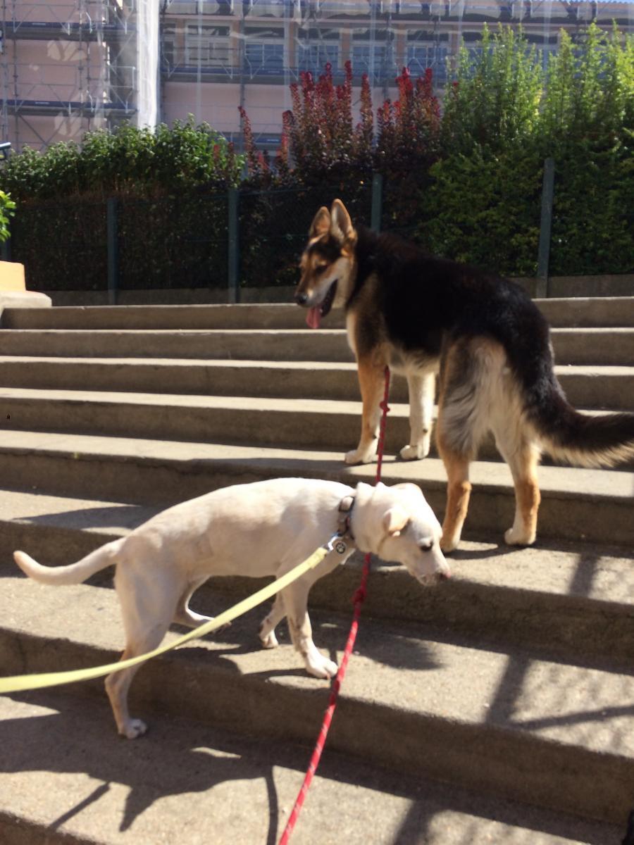 chiens promenade