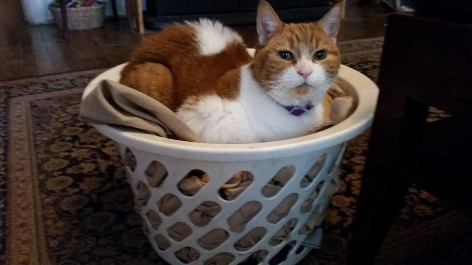 chatte rousse et blanche