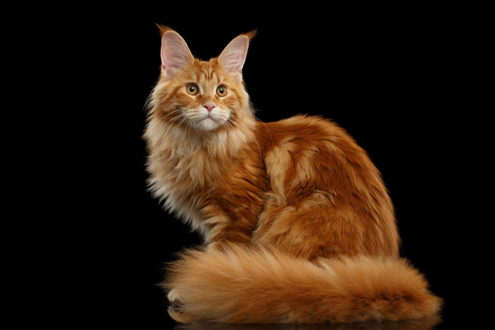 Somali Cats For Sale South Africa