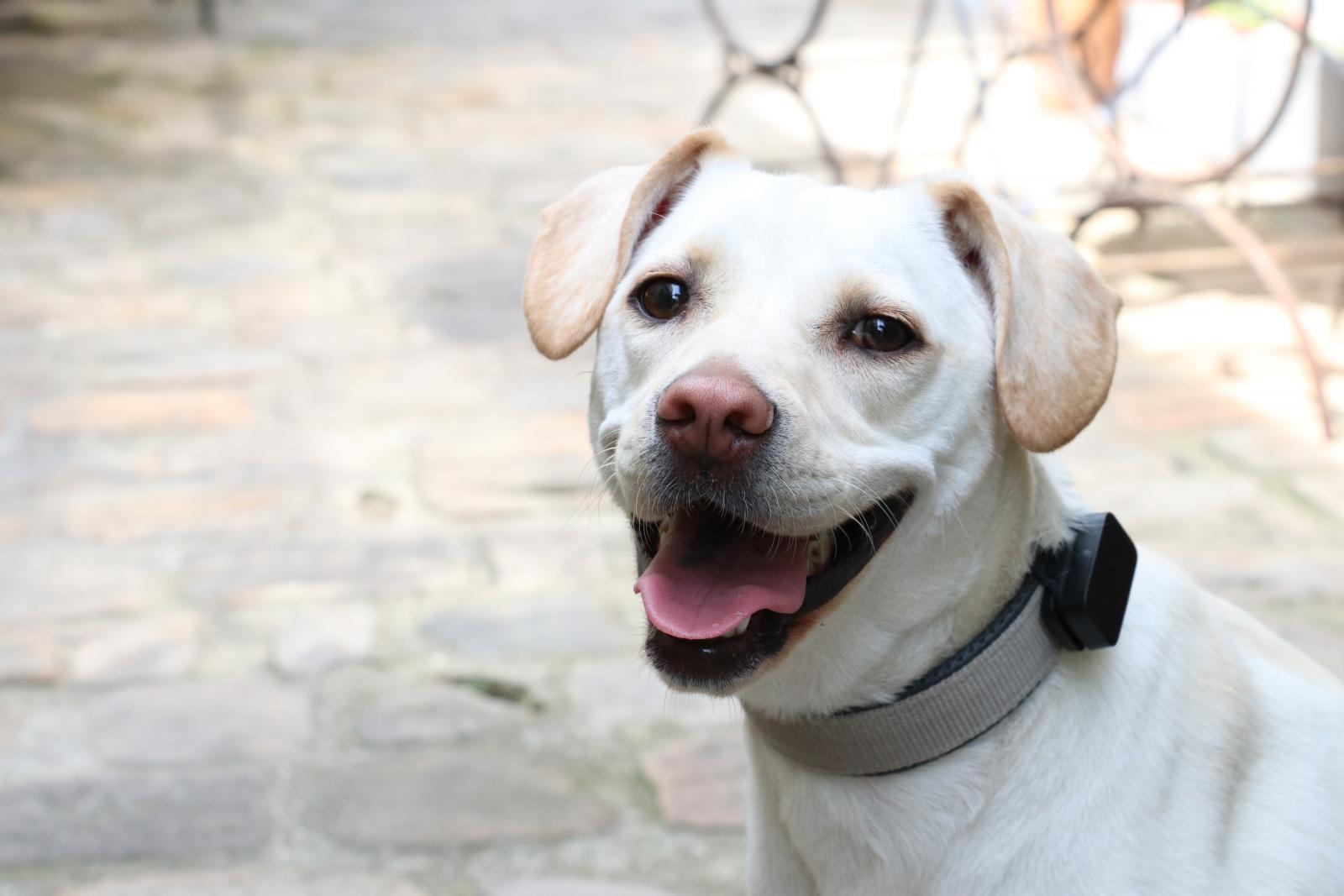 GPS Pet Tracker invoxia x Wamiz test chien