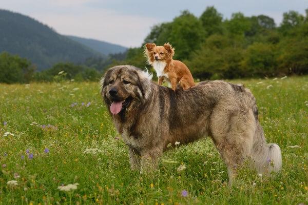 Les chiens de différentes races peuvent-ils s'accoupler ?