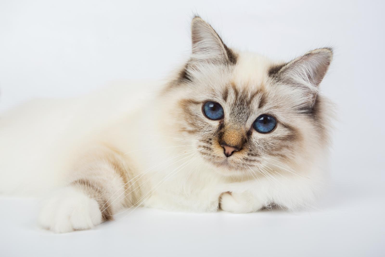birman yeux bleu