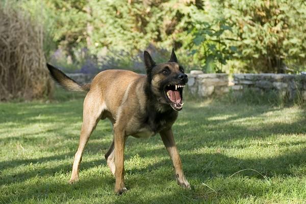 Aboiement chez le chien : pourquoi mon chien aboie ?