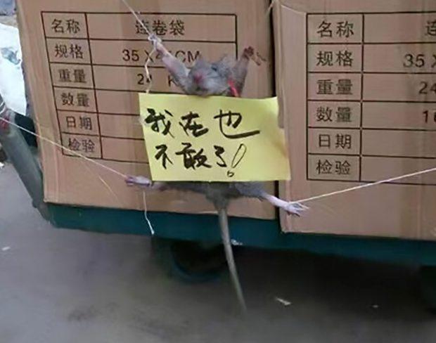 rat voleur riz humilié