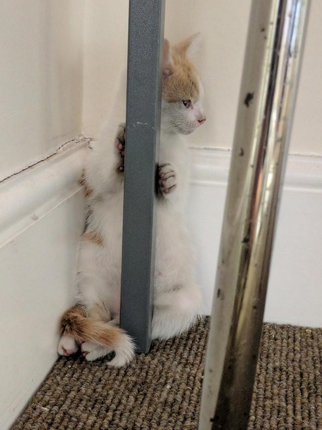 chaton roux et blanc