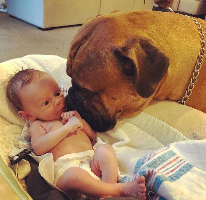 bullmastiif bébé