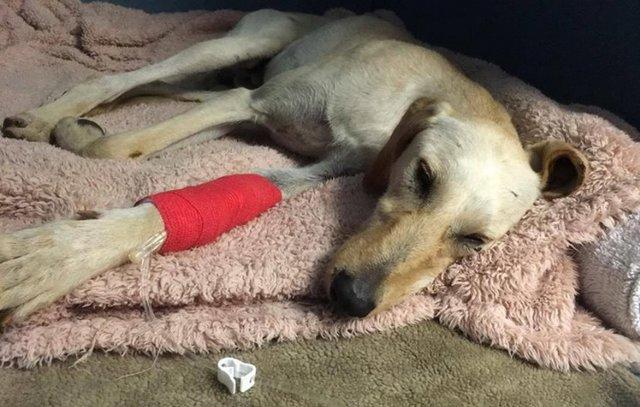 chien saluki blessé