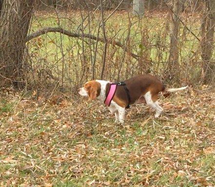 beagle foret promenade