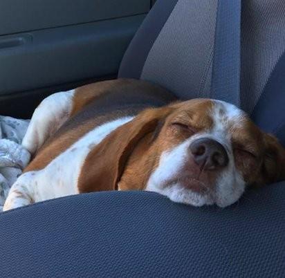 beagle sieste