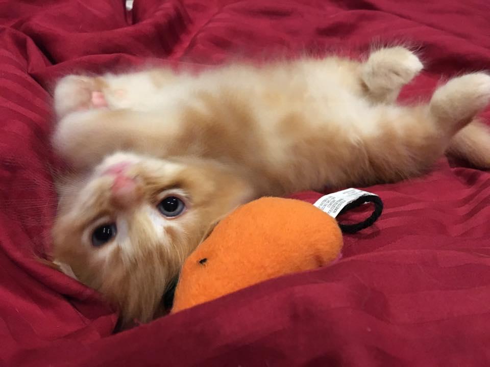 chaton roux qui dort