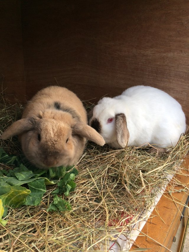 lapins amis